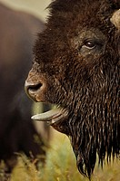 Bison (Bison bison) - Wyoming - Male vocalizing (bellowing) during rut - Commonly called buffalo - Males weigh up to 2000 pounds-heaviest land mammal ...