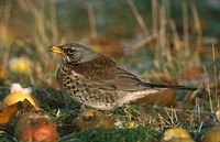 Close_up of Fieldfare Turdus pilaris bird in field