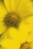 Nature, plant, meadow, grass, garden, flower, flowers, yellow, blooms,meadow flower, yellow, auttra