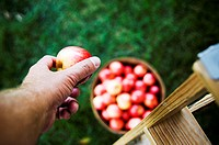 Man picking bushel of apples