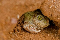 Couch Spadefoot (Scaphiopus couchii). Arizona. USA