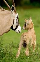 Gemsbok (Oryx gazella).