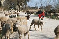 Children (3-5) walking among flock of sheep