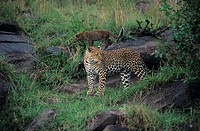 Leopard mother and young (Panthera pardus) standing among rocks, Kenya