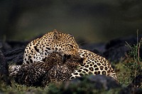 Leopard mother and two cubs (Panthera pardus), resting on grass, Kenya