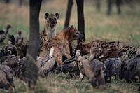 Spotted hyenas (Crocuta crocuta) and vultures scavenging on savannah, Kenya