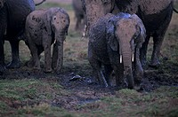 African elephants (Loxodonta africana) with young standing in mud, Kenya