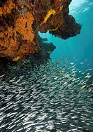 School of silverside fish (Atherinidae) swimming in reef