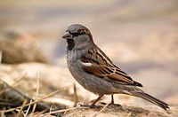 House Sparrow (Passer domesticus), male