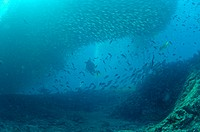 Divers below Scad Ball, Bait Ball of Mullet Snappers in the Sea of Cortez, Mexico. When such a ball goes overhead it becomes as dark as night. There a...