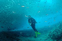 Divers below Scad Ball, Bait Ball of Mullet Snappers in the Sea of Cortez, Mexico.  When such a ball goes overhead it becomes as dark as night. There ...