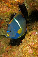 King Angelfish, angel real (Holacanthus passer). Sea of Cortez, Mexico