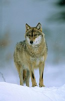 Wolf standing in the snow, Bayerischer Wald Nationalpark. Bavaria, Germany