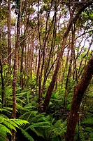 Hawaii, Big Island, forest of ferns and trees