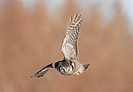 Northern Hawk Owl (Surnia ulula) in flight. These 16 inch tall owls often hunt in daytime for small rodents from treetops in open spruce and aspen woo...