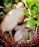 Adult cattle egret (Bubulcus ibis) standing in nest with young. St. Augustine, Fl