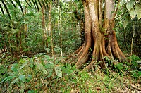 The Amazon forest during low water. The high water mark can be seen on the trunk of the large Ficus tree to the right. Photo along the Orosa Rivere, L...