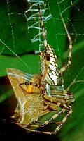 Female black and yellow garden spider (Argiope aurantia) wrapping a newly captured moth in Jacksonville, FL. Stabilimentum, zigzag threads, are visibl...
