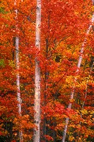 Northern Ontario autumn scenic. Maples in peak autumn colour with white birch tree trunks. Webbwood. Ontario. Canada