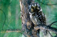 Boreal owl (Aegolius funereus). Roosting in protection of red pine. Lively. Ontario. Canada.