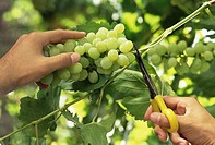 Hands Cutting Green Grapes from Vine