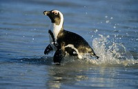 African Penguin (Jackass Penguin), Spheniscus demersus, swimming, Boulders Beach, Cape Town, South Africa