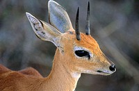 Steenbok, Raphicerus campestris, male, Kruger National Park, South Africa
