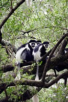 Western Black-and-white Colobus Monkey (Colobus polykomos). Awasa. Ethiopia.
