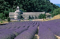 Senanque Abbey and Lavender Fields, Gordes, Provence, France