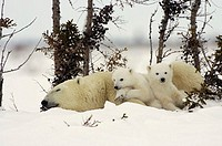 Polar Bears Wapusk National Park Manitoba Canada