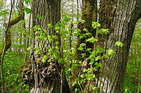 Young limes in Puhtu forest, Puhtu-Laelatu reserve, West Estonia. The stand is an overgrown park from 18th century, now in pseudo-virgin state