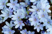 Hepatica nobilis, Liverwort plant stem blooming, medicinal plant