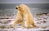 Polar bears play fighting (Ursus maritimus). Churchill, Manitoba, Canada
