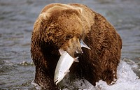 Grizzly bear with caught salmon (Ursus arctos horribilis). Brooks river, Katmai National Park, Alaska, USA