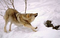 European grey wolf stretching in snow (Canis lupus), captive. Bayerischer Wald Nationalpark, Germany