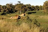 lions, shaba, kenya, africa