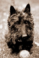 11-year old Scottish Terrier Gielgud (male) with tennis ball in Boston Public Garden. Massachusetts. USA