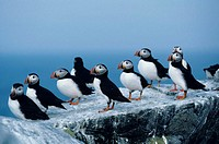 Atlantic puffins standing on rocks