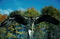 Osprey or fish hawk over small trout with wings spread, North America
