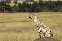 Cheetah on termite mound, Kenya, Africa