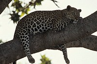 African leopard in tree, close-up, Kenya, Africa