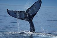 Humpback whale (Megaptera novaeangliae) tail lobbing