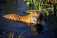 Bengal tiger (Panthera tigris tigris) wading in water
