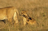 African lion (Panthera leo) mother and cub playing, Kenya, Africa