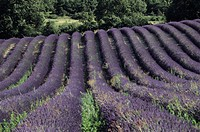 Lavendar fields, Provence, France, (Close-up)