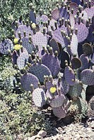 Purple prickly pear cactus (Opuntia Santa-Rita)