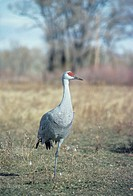 Lesser sandhill crane, North America
