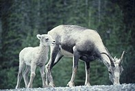 Stone sheep ewe and lamb at mineral lick, North America