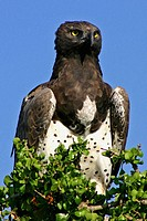 Martial Eagle scans the horizon, Masai Mara Game Reserve, Kenya