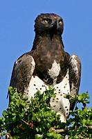 Martial Eagle scans the horizon, Masai Mara Game Reserve, Kenya